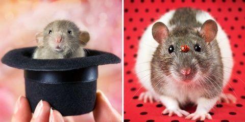 Cette artiste veut changer l'image des rats g...