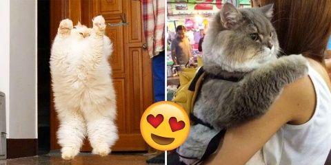 20 photos de gros chats qui vont vous mettre...