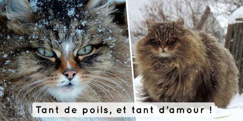 Ces gros chats de Sibérie vont réchauffer vot...