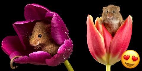 Ces photos de souris dans des tulipes vont vo...