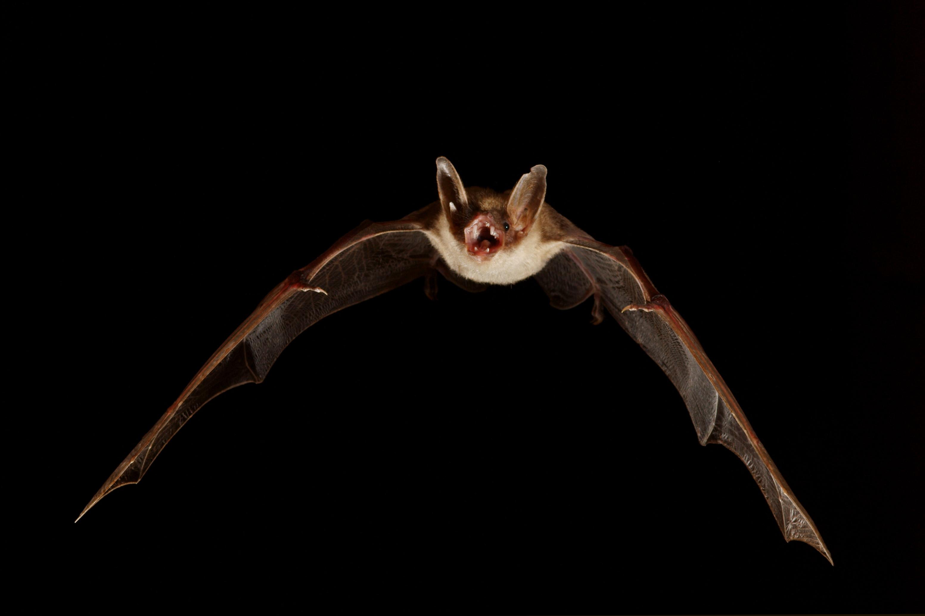 Ces 5 esp ces dont l 39 tre humain a besoin pour survivre sont en voie d 39 extinction - Image de chauve souris ...