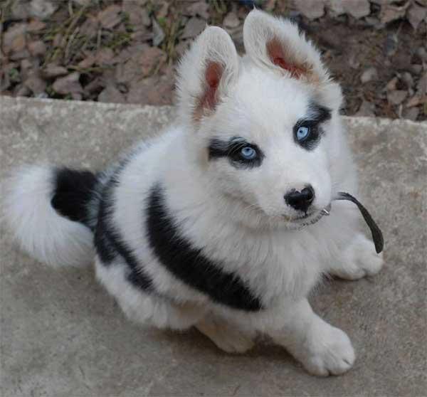 le plus beau husky du monde