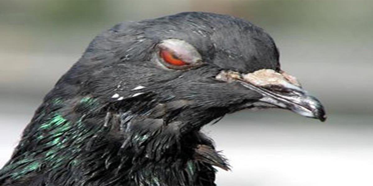 13 raisons pour lesquelles les pigeons sont les oiseaux de satan. Black Bedroom Furniture Sets. Home Design Ideas
