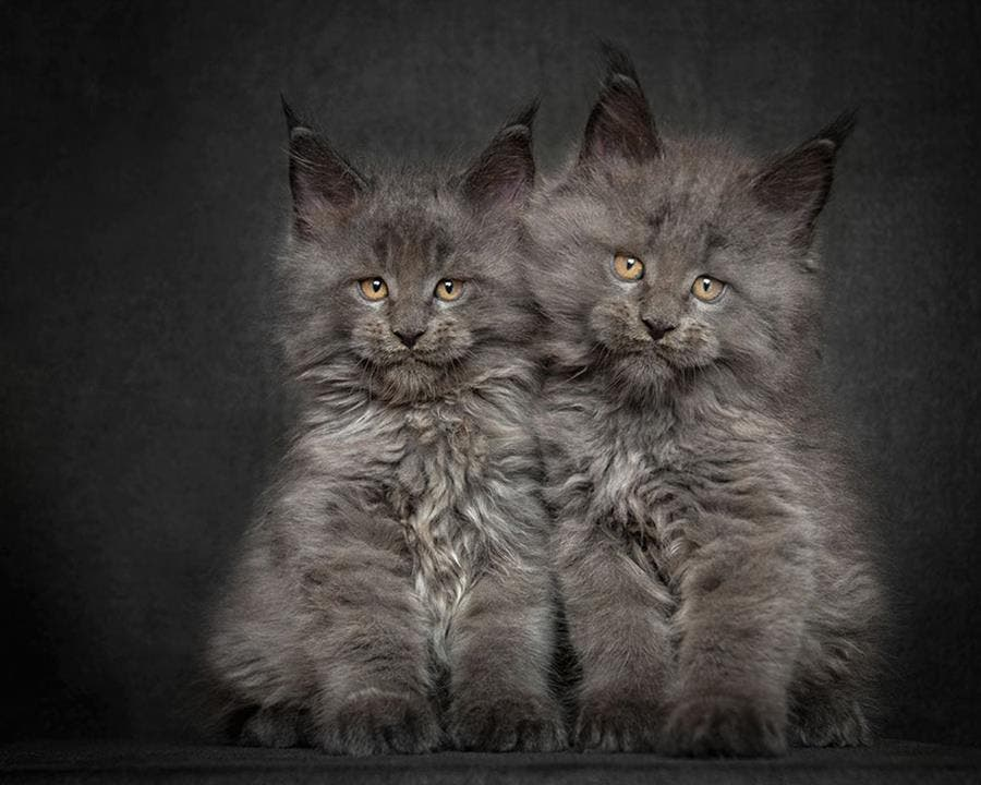 chatons gris