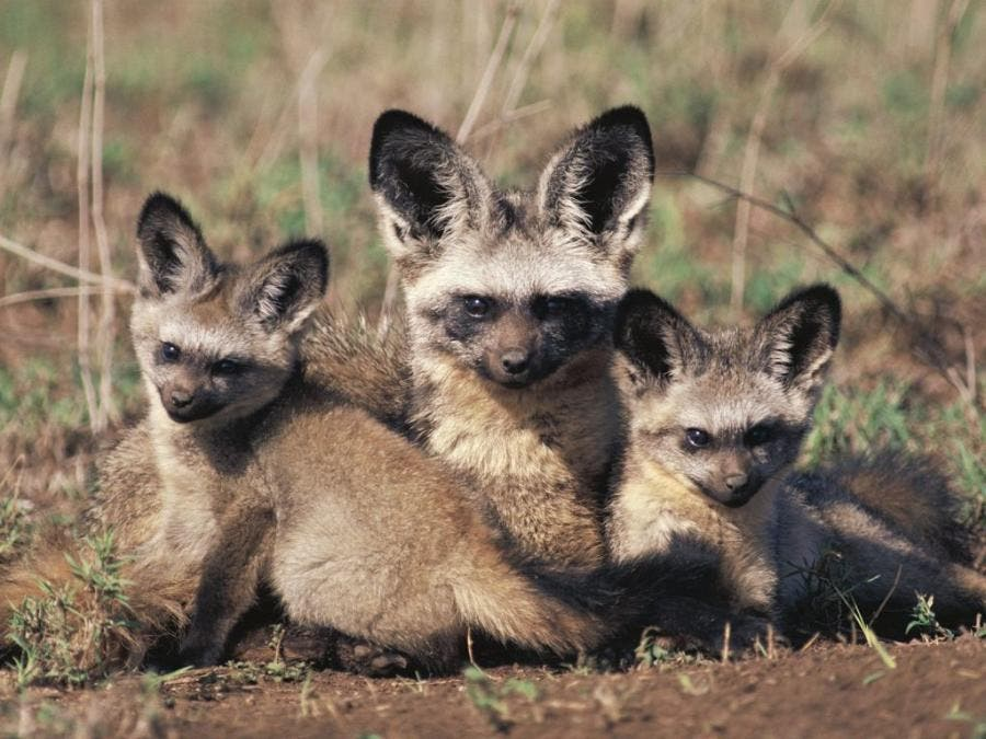 African Bat-Eared Foxes Baby picture