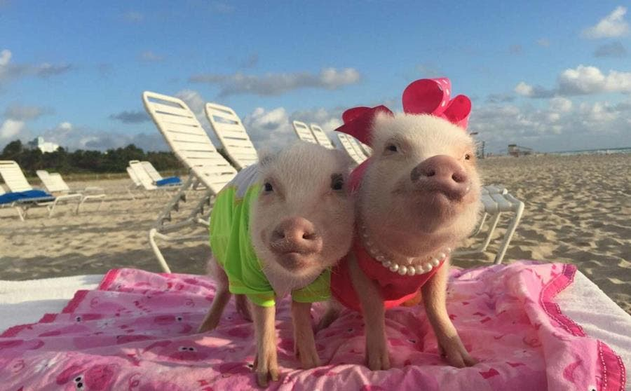 cochon animal de compagnie