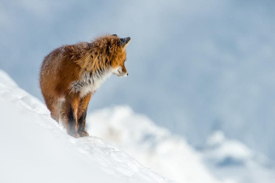 renard, neige, ivan kislov, photo