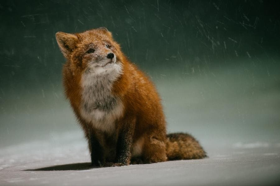 renard, photo, ivan kislov