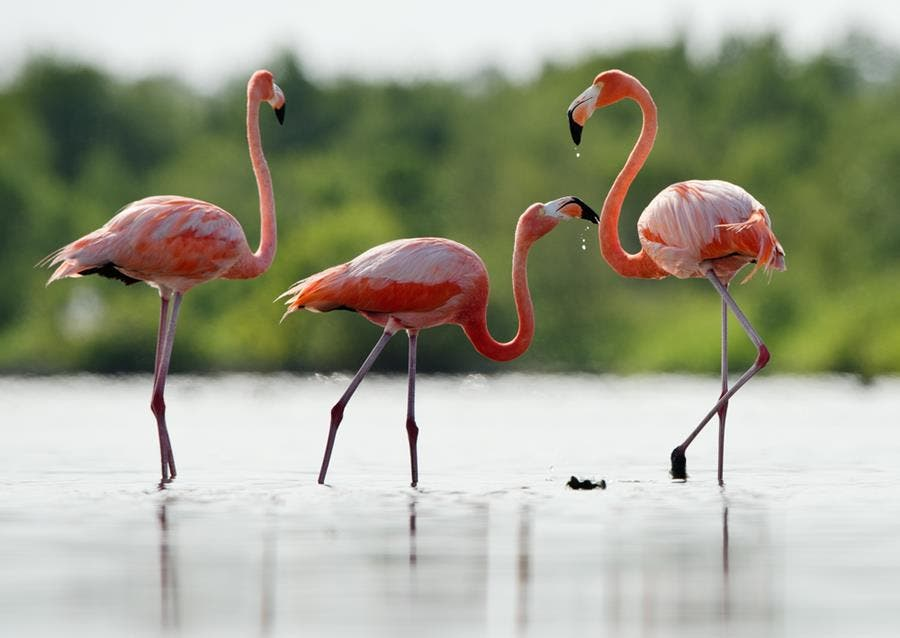flamants, roses, étang