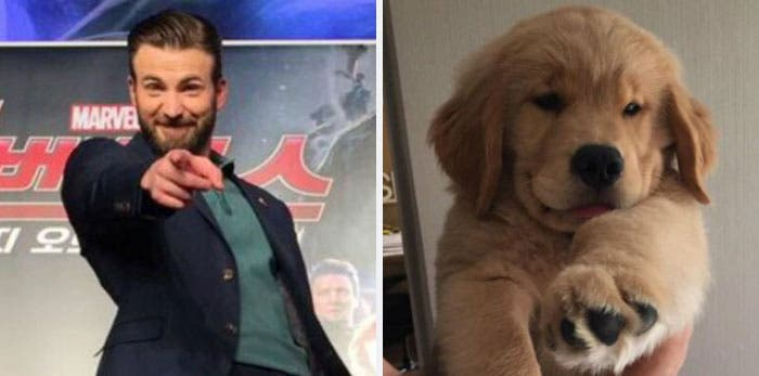 People Chris Evans Golden Retriever compte Twitter ressemblances photographie humour