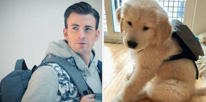 People Chris Evans Golden Retriever compte Twitter ressemblances photographie humour sac à dos