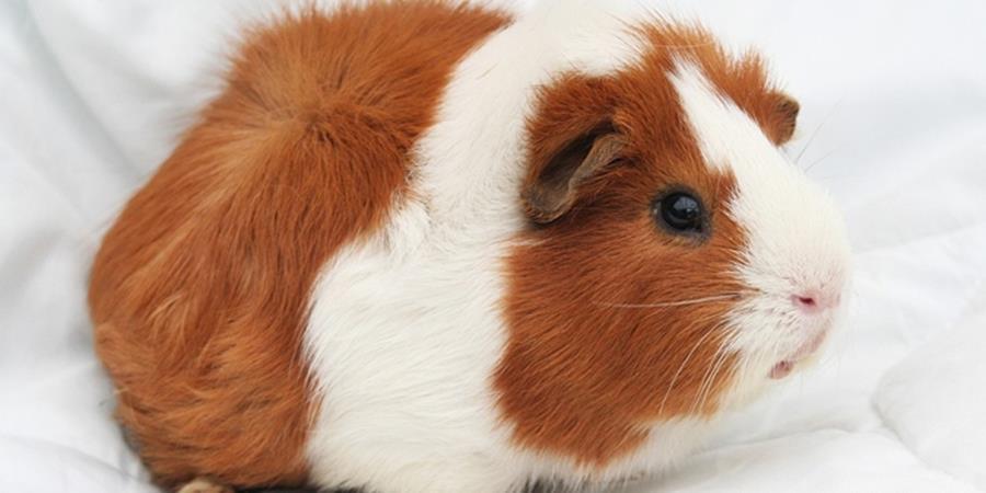 Pour son bien-être, il est illégal d'avoir un seul cochon d'inde en suisse