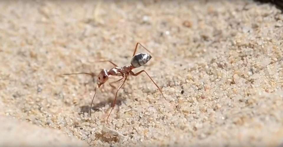 Il existe une fourmi qui peut courir 10 fois plus vite qu'Usain Bolt