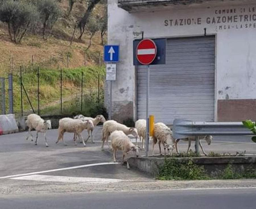 moutons, rue, italie