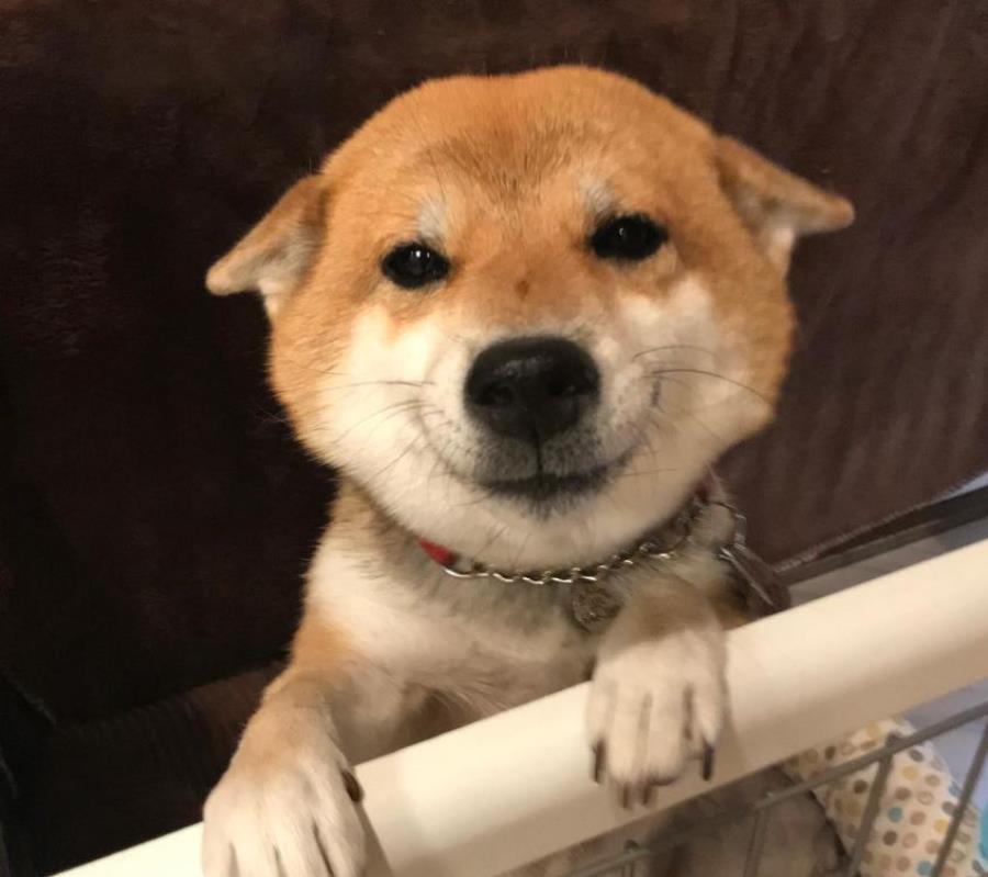 shiba, chien, sourire, mignon, animaux