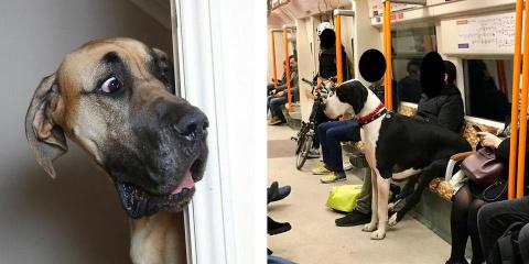 10 dogues allemands qui ont du mal à se rendr...