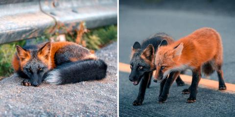 15 photos sublimes d'un renard unique noir et...