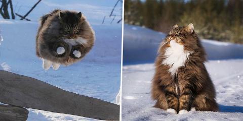 16 photos de chats norvégiens tout duveteux q...