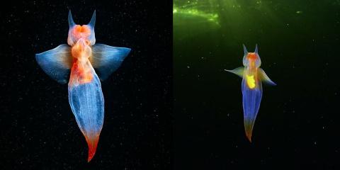 Voici l'ange de mer, un vrai animal qui vit s...