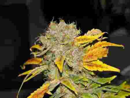 weed jaune