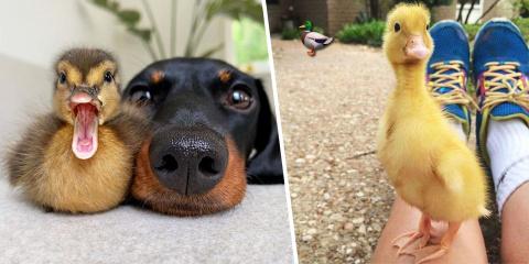 14 photos ultra mignonnes de canards pour vou...