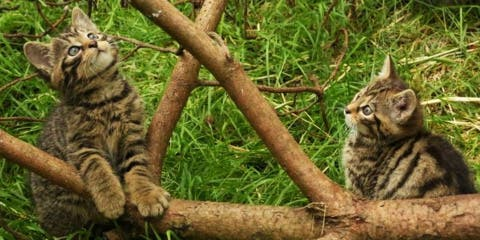 Deux chatons sauvages dont l'espèce est au bo...