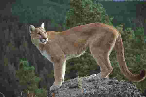 fa7acc26e3a9b 8 cougars magnifiques qu on ne reverra plus jamais